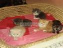 Photo de l'Annonce: Des super chatons persans race pure