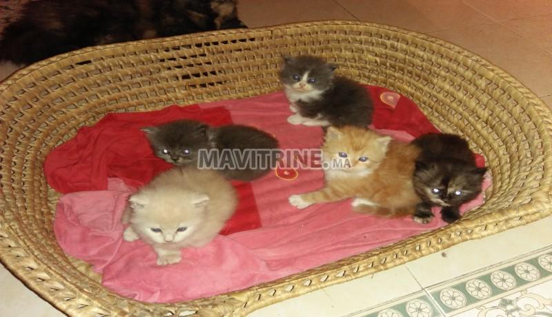 Des super chatons persans race pure