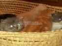 Photo de l'Annonce: des supers chatons persans race pure age de 1 mois