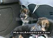 Photo de l'annonce: chiots berger allemand