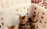 Photo de l'annonce: chatons bengal