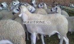 Mouton حولي العيد