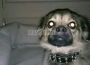 Photo de l'annonce: chien chihuahua poil long