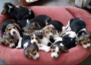 Photo de l'annonce: Chiots Beagle