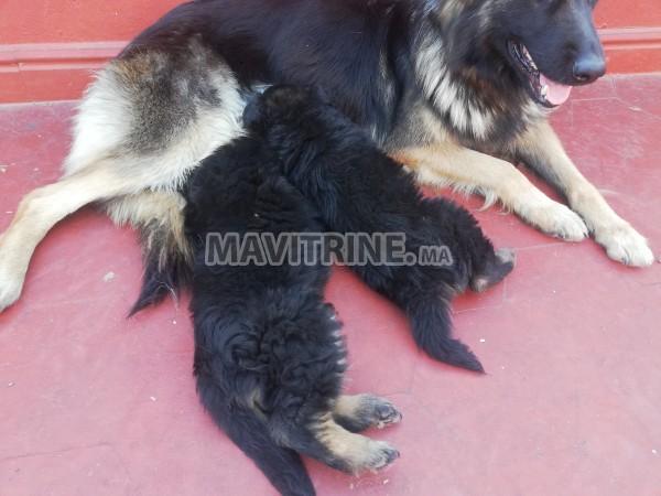 Chiots femelles berger allemand masque noir et poil long