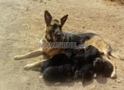 Photo de l'annonce: Vente de chiots bergers allemand