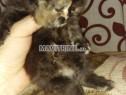 Photo de l'Annonce: Des chatons persans chinchilla race pure