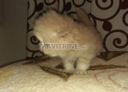 Photo de l'annonce: Chaton chinchilla race pure