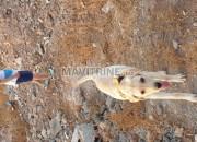 Photo de l'annonce: Labradore pure race