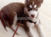 Photo de l'annonce: Husky femelle pur yeux bleus