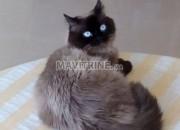 Photo de l'annonce: chat siamois mâle