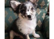 Photo de l'annonce: Chiot chihuahua poil long