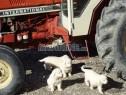 Photo de l'Annonce: Chiots berger de podhale livré a domicil