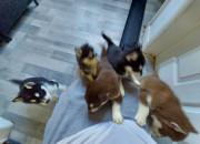 Photo de l'annonce: Chiots chihuahua