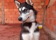 Photo de l'annonce: Husky Sibérien 5 mois