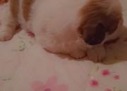 Photo de l'annonce: Bichon havanais