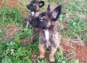 Photo de l'annonce: 2 Chiots Malinois femelle
