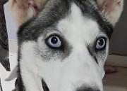 Photo de l'annonce: Vente de ma chienne Haskey