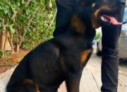 Photo de l'annonce: Rottweiler-Berger allemand croisée 6mois vaccinée avec son carnet
