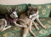 Photo de l'annonce: Husky Femelle 6 mois Yeux Bleu
