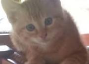 Photo de l'annonce: Chaton orphelin pour adoption gratuitement